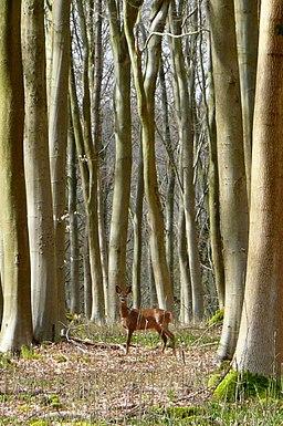 Roe Deer in Black Wood - geograph.org.uk - 1772426