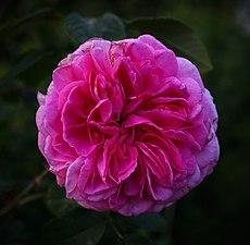 Rosa-'Gertrude-Jekyll'.jpg