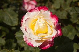 Rosa 'Double Delight' IMG 4429