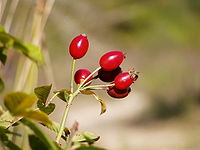 Rosa canina fruits.jpg