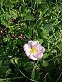 Rosa gallica sl93.jpg