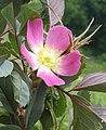Rosa glauca inflorescence (46).jpg