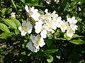 Rosa multiflora var. multiflora1UME.jpg