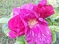 Rosa rugosa lilac.jpg
