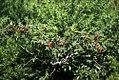Rosa spinosissima fruit (03).jpg