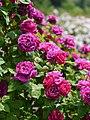 Rose, Baron Girod de l'Ain, バラ, バロン ジロー ド ラン, (11472742243).jpg