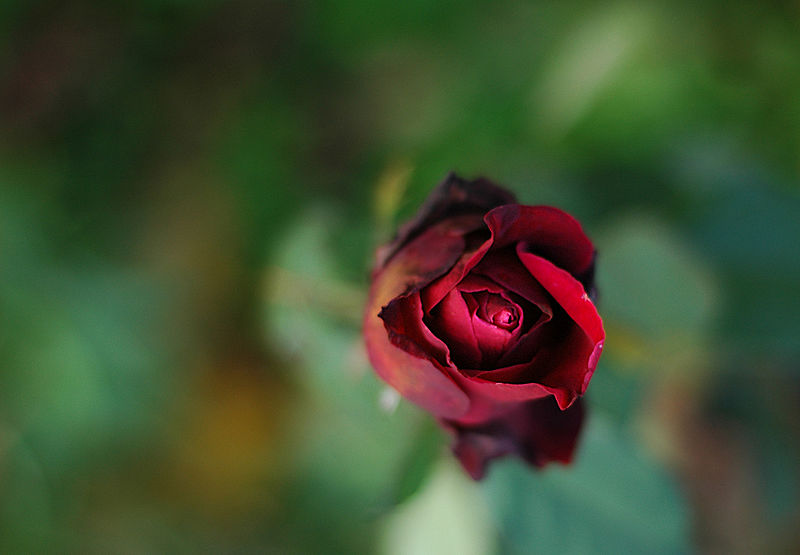Plik:Rose autumn.jpg