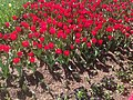 Roses in Tulip Festival.jpg