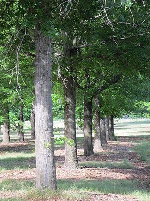 Lindsay Pryor National Arboretum - Image: Row of trees Lindsay Pryor National Arboretum