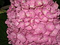 Ružičasta hortenzija.JPG