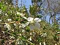 Rubus palmatus var. coptophyllus.JPG