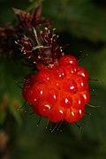 Rubus spectabilis 1564.JPG