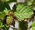 Rubus vernus (young fruits s2).JPG