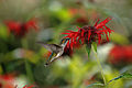 RubyThroatedHummingbird.jpg