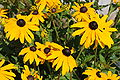 Rudbeckia hirta flowers at Microsoft Building 99.jpg