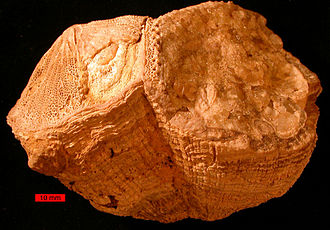 Rudists - Rudist bivalves from the Cretaceous of the Oman Mountains, United Arab Emirates; scale bar is 10 mm