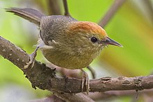 Rufous-capped Babbler Zuluk, East Sikkim, Sikkim, India 23 April 2015.jpg