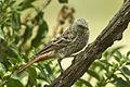 Rufous-tailed Weaver - Ndutu - Tanzania 0169 (22861674651).jpg
