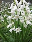 Ruhland, Grenzstr. 3, Spanisches Hasenglöckchen, weiß blühend, Frühling, 05.jpg