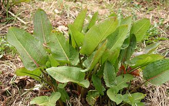 Rumex - Broad-leaved dock leaves (R. obtusifolius)