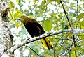 Russet-Backed Oropendola. Psarocolius angustifrons - Flickr - gailhampshire.jpg