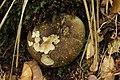 Russula nigricans (43427589180).jpg
