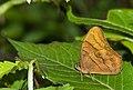 Rusy Forester-Arunachal-DSC 7590.jpg
