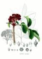 Rutaceae sp SZ21 clean.png