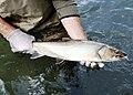 Ryba pstrąg 002.jpg