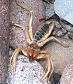 SUN SPIDER (SOLPIGID) (8-8-12) 78 circulo montana, patagonia lake ranch estates, scc, az -01 (7748883784).jpg