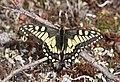 SWALLOWTAIL, OLD WORLD (Papilio machaon aliaska) (6-25-2016) denali highway, mile p13 pass, near paxson, alaska (3) (28788436580).jpg