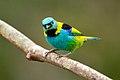 Saíra-sete-cores (Tangara seledon) - Green-headed Tanager.jpg