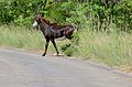 Sable (Hippotragus niger) female crossing the road ... (16633198284).jpg