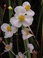 Sagittaria latifolia - Broadleaf Arrowhead.jpg