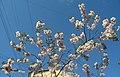Saint Petersburg. Chinese Garden. Sakura tree2019 05.jpg