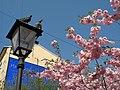 Saint Petersburg. Chinese Garden. Sakura tree2021 10.jpg