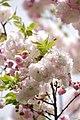 Sakura 2018 17 (253075375).jpeg