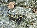 Salamandra škvrnitá (Salamandra salamandra) - panoramio.jpg