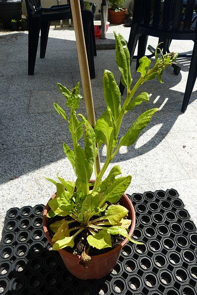 File:Salatartige Pflanze 01.jpg