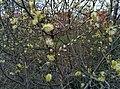 Salix caprea (13784259504).jpg