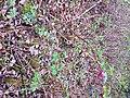 Salmonberry starting to flower - Flickr - brewbooks.jpg