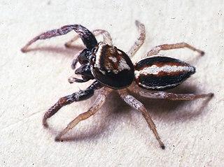 <i>Icius</i> Genus of spiders