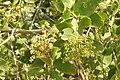 Salvadora persica by Dr. Raju Kasambe DSCN6600 (4).jpg