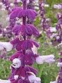 Salvia leucantha closeup.jpg