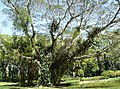 Saman Parque Exótica Flora Tropical..JPG