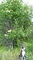 Sambucus nigra ssp. caerulea 4.jpg