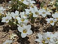 Sand blossoms, Linanthus parryae.jpg