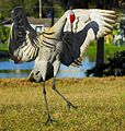 Sandhill Crane in Love^ ( Grus canadensis pratensis ) - Flickr - Andrea Westmoreland.jpg