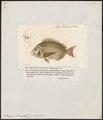 Sargus lineatus - 1700-1880 - Print - Iconographia Zoologica - Special Collections University of Amsterdam - UBA01 IZ13100033.tif