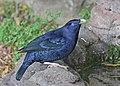 Satin Bowerbird JCB.jpg
